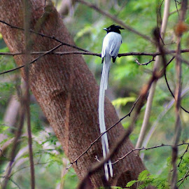 Asian Paradise Flycatcher by Shalini Jai - Novices Only Wildlife