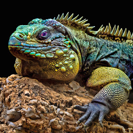by Judy Rosanno - Animals Reptiles ( san antonio zoo, april 2017 )
