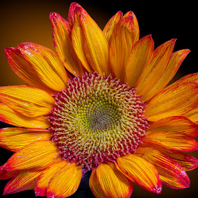 Sunflower by Chad W - Nature Up Close Gardens & Produce ( orange, macro, sharp, dyed, gerber daisy, daisy, wet, perfect, shiny )