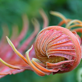 The Fern Unfurling by Sheri Zschocher - Nature Up Close Other plants ( fern, macro, beauty nature,  )
