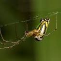 Leucauge spider