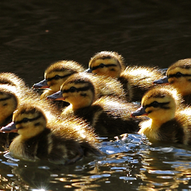 Ducklings by Nick Jackson - Animals Birds