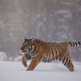 Stripped ussurian girl by Jiri Cetkovsky - Animals Lions, Tigers & Big Cats ( winter, tiger, snow, ussurian, run )