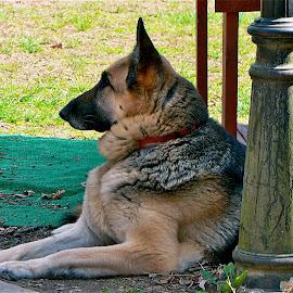 Gina. by Peter DiMarco - Animals - Dogs Portraits ( doggie, shepherd, dog portrait, dog, animal )