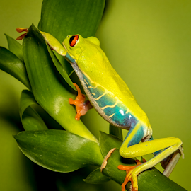 On the Prowl by Myra Brizendine Wilson - Animals Reptiles ( frog, red eyed tree frog, reptile, animal,  )