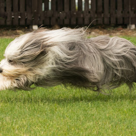 by Janet Packham - Animals - Dogs Running ( playing, dogs, happy, pets, beardedcollie )