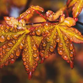 Orange Leaves by Craig Head - Nature Up Close Leaves & Grasses ( orange, macro flower, macro photography, beautiful, beauty in nature, vibrant, macro shot, droplets, macro, colourful, depth of field, leav, weather, waterdroplets, rain )