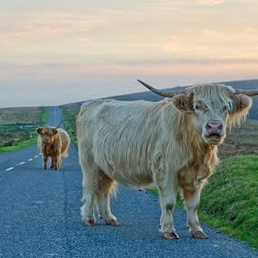 Mind the Cow! by Alex Graeme - Animals Other Mammals ( devon, cow, highland cattle, road, dartmoor )
