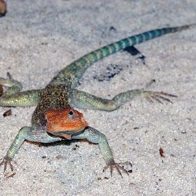 atack by Mrak Rado- Fotograf - Animals Reptiles ( reptiles, blue, atack, grey, close up )