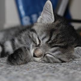 Innocence by Sue Connor - Animals - Cats Kittens ( cat, kitten, sleeping,  )
