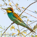European Bee-eater.