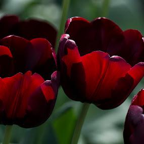 In red - against light by Pedro Varão - Flowers Flower Gardens