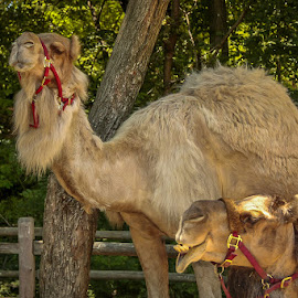 Camels by Ruth Sano - Animals Other ( camels )