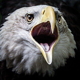 Bald Eagle by Ellen Kawadler - Animals Birds ( bird, open mouth, headshot, mouth, bald eagle )