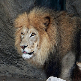 African Lion by Margie Troyer - Animals Lions, Tigers & Big Cats