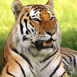 Tiger by Ralph Harvey - Animals Lions, Tigers & Big Cats ( wildlife, ralph harvey, marwell zoo )