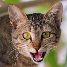 Angry  by Ghazan Joyia - Animals - Cats Portraits (  )