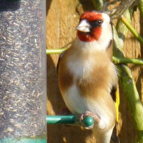 Sitting Pretty by Andrea Clayton - Novices Only Wildlife ( bird, wildlife, garden, goldfinch )