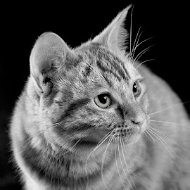 Curious by Patricia Konyha - Animals - Cats Portraits