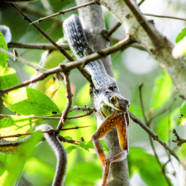 It is time for lunch by Nayan Jyoti Kalita - Animals Reptiles ( snake, nature, frog, asia, hunting, wildlife, india, animal )