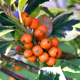 Orange Holly Berries by Chrissie Barrow - Nature Up Close Other Natural Objects ( orange, holly, nature, green, yellow, leaves, closeup, berries )