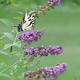 Layered by Melissa Davis - Animals Insects & Spiders ( butterfly, butterfly bush, tiger swallow, missysphotography, eastern tigerswallow )