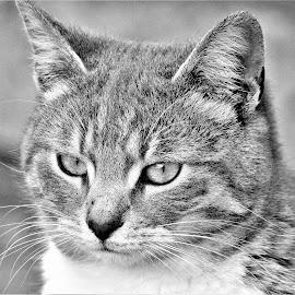 by Valentin Georgiev - Animals - Cats Portraits