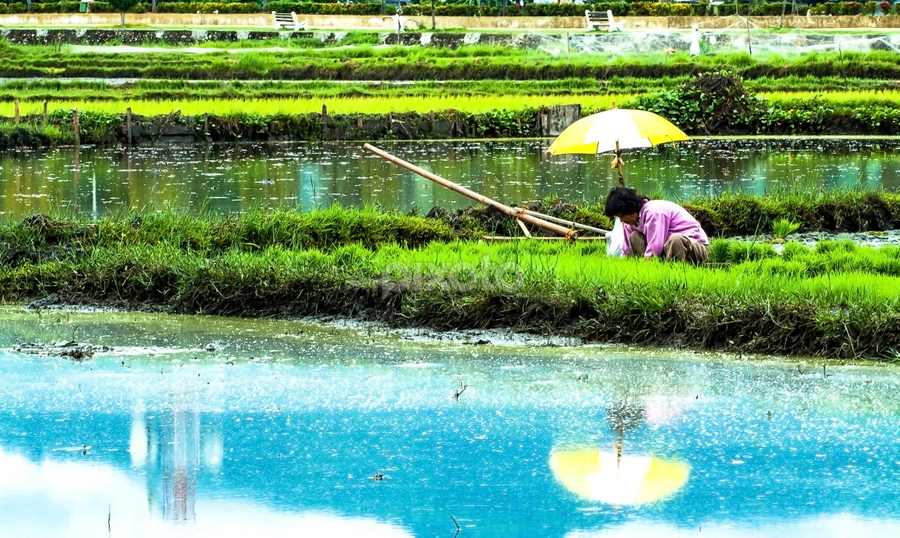 Rice Plantation by Ellen Foulds - News & Events Business ( planting rice, rice plantation, green, landscape, people )