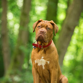Mason by Jenny Trigg - Animals - Dogs Puppies ( puppies, dogue de bordeaux, puppy, dog, woods )