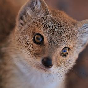 Curious Mongoose by Clarissa Human - Animals Other Mammals ( desert, mongoose, south africa, kalahari, small mammal,  )