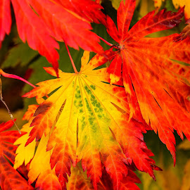 Falls Colors by Jerry Cahill - Nature Up Close Leaves & Grasses ( leaves fall, colors, fall, orange leaves, leaf )