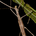 Triumphant Giant Stick Insect