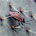 Bordered plant bug