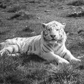 Blizzard by Garry Chisholm - Black & White Animals ( predator, nature, mammal, tiger, big cat, garry chisholm )