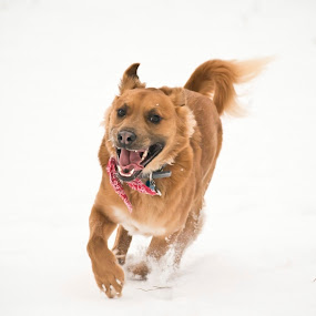 Galloping in the Snow 1 by Karen Santilli - Animals - Dogs Playing