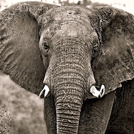 Ellie close-up by Pieter J de Villiers - Black & White Animals