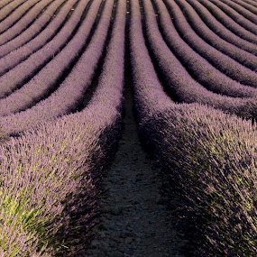Lavender fields in Provence by Pietro Ebner - Landscapes Prairies, Meadows & Fields ( provence, field, france, lavender, valensole,  )