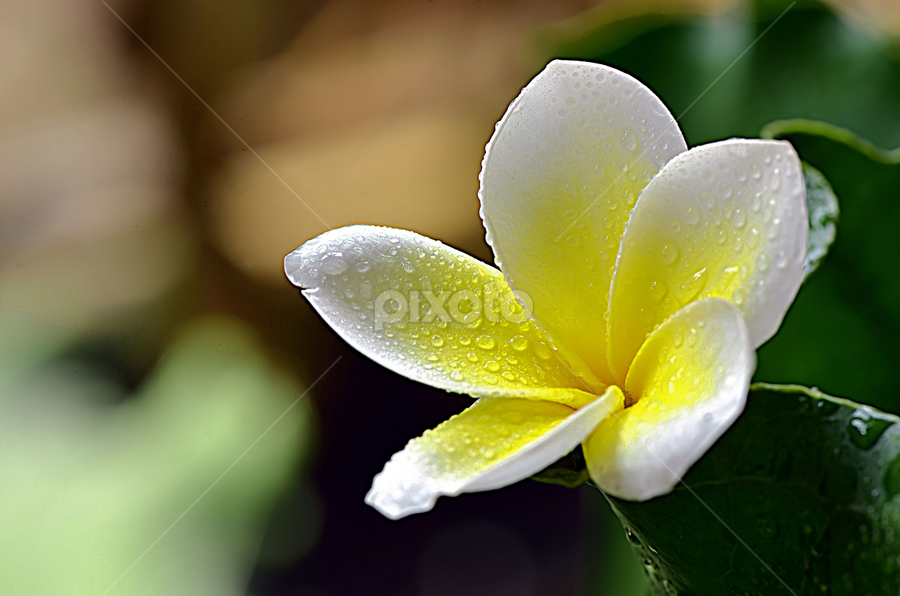 Bunga Kamboja by Koento Birowo - Nature Up Close Flowers - 2011-2013 ( nature, bunga, indonesia, kamboja, flower,  )