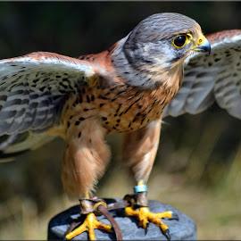 kestrel by Nic Scott - Animals Birds ( kestrel, bird of prey, bird,  )