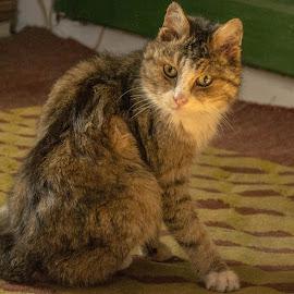 Miţulache. by Popa Marian - Animals - Cats Portraits
