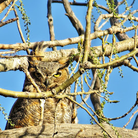 great horned owl by Rita Flohr - Novices Only Wildlife ( bird, cottonwood, bird of prey, nature, owl, feathers )