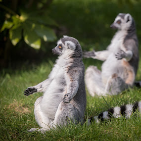 by Kevin Standage - Animals Other Mammals ( canon, mammals, england, animals, lemurs, marwell )
