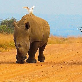 Rhino patrol by Johann Fouche - Animals Other Mammals ( big five, patrol, dangerous animals, rietvlei, rhino,  )
