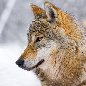 Gray wolf (Canis lupus) in winter by Lajos E - Animals Other Mammals ( canis, europe, wood, carnivores, forest, gray, woods, snowing, carnivore, canid, winter, european, tree, wolf, lupus, snow, grey, canidae,  )