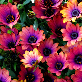 Copper Amethyst Daisies by Vonelle Swanson - Nature Up Close Flowers - 2011-2013 ( orange, nature, purple, color, or, daisies, pink, flowers )