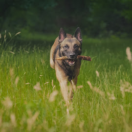 Having fun by Wilma Heuvel - Animals - Dogs Running ( animals, dogs, honden, mallinois, mechelse herder, hunde )