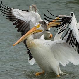 Boogie Dance by Sheen Deis - Animals Birds ( water birds, beaks, marsh birds, white, nature, feathers, wings, pelican, birds, large birds, dance, pelicans )