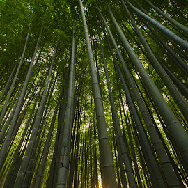bamboo by Dragos Curelea - Novices Only Flowers & Plants ( bamboo, japan, sunset, forest, sunlight )
