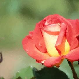 My Backyard Rose by Nancy Bowen - Digital Art Things ( orange, rose, painted, yellow )