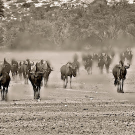 Bluewildebeest - Dry Season - Kgalagadi by Pieter J de Villiers - Black & White Animals